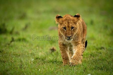 lion cub walks in grass lifting