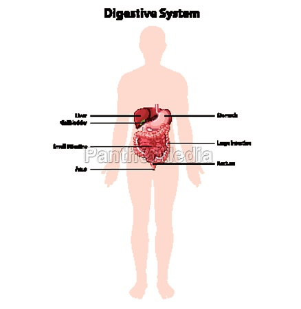 diagram of human digestive system