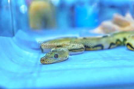snake is pet
