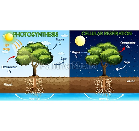 diagram showing process of photosynthesis and