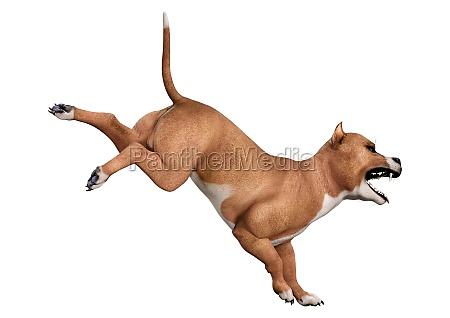 3d rendering american pit bull terrier