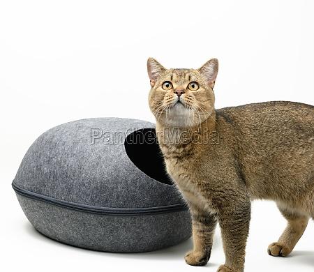 young gray cat scottish chinchilla and