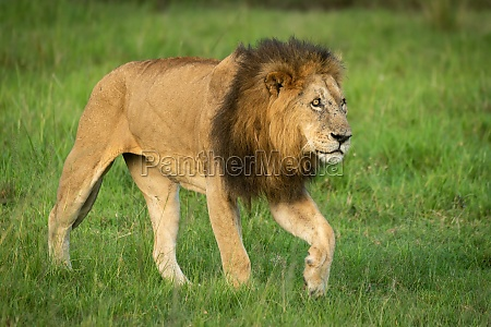male lion walks over grass lifting