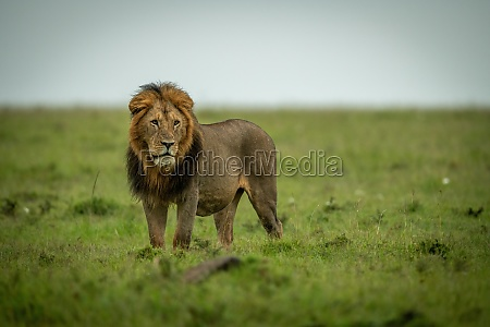 male lion stands staring left in