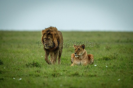 male lion passes lioness lying in