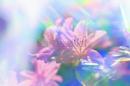 close up of azalea flowers in