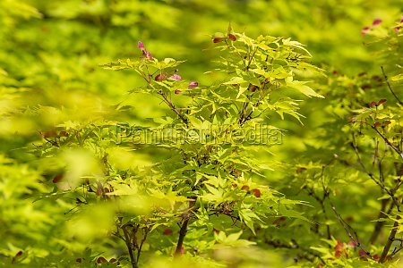 close up of japanese maple acer