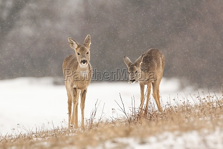 two roe deer grazing dry grass