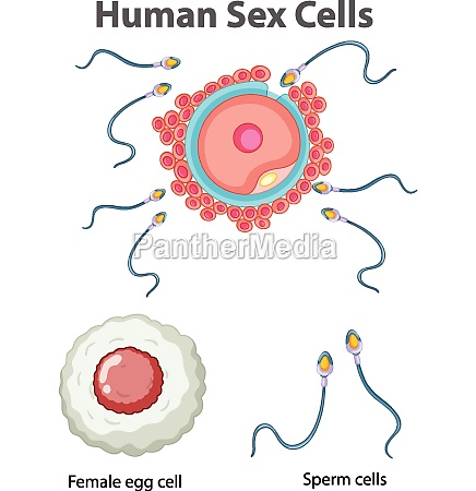diagram showing human sex cells on