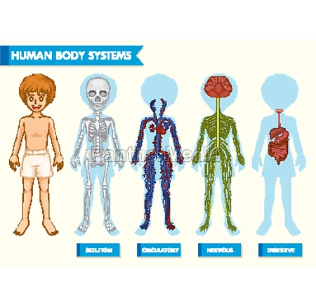 scientific medical illustration of human body