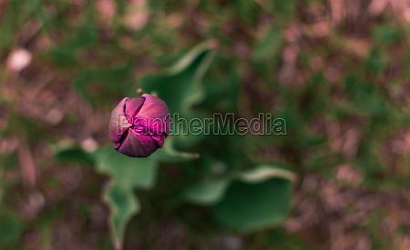 purple tulip bud
