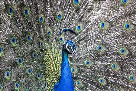 closeup image of a peacock dancing