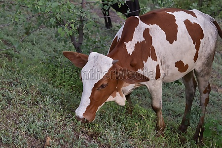 cow eating grass in a paddy