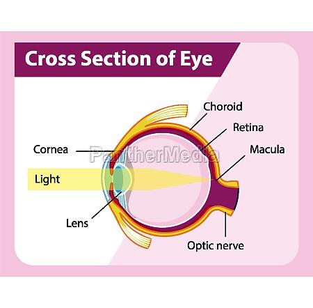 human eye anatomy with cross section