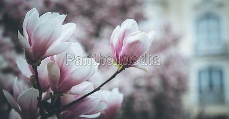 beautiful magnolia blooms in spring salzburg