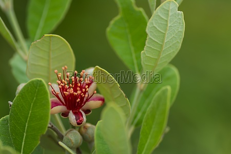 fresh blossom from a apple guava