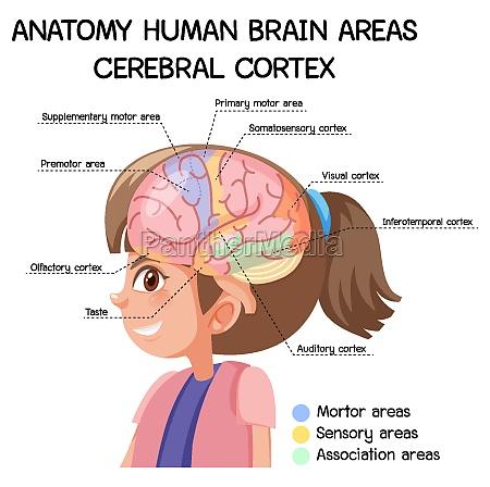 anatomy human brain areas cerebral cortex