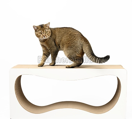 adult gray scottish straight cat stands
