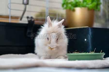 white dwarf rabbit sits in front