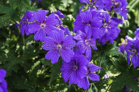 close up of the beautiful geranium