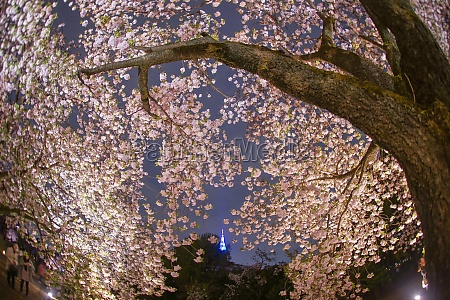 sakura of large tree and the