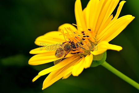 bee on a compass flower