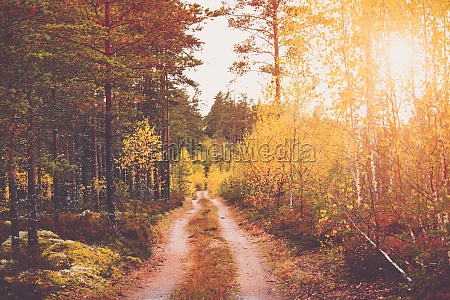 coniferous beautiful forest with morning shining