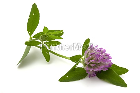 clover flower with leaves isolated on