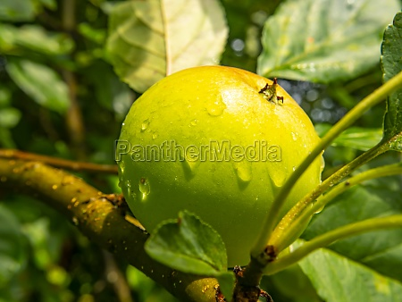 apple fruit with drops of rain