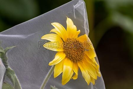 beautiful big yellow petals of a