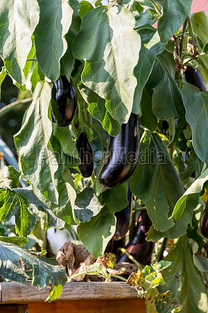 harvest the aubergines from the raised