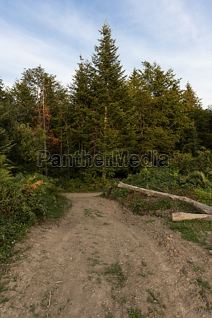 pine trees and hiking path in