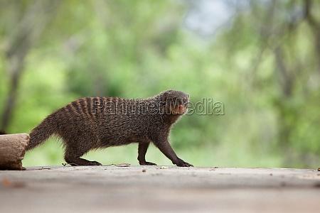 a banded mongoose mungos mungo walks
