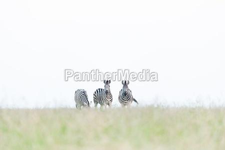 three zebra equus quagga walk in