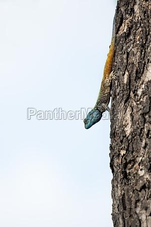 blue headed tree agama acanthocercus gregorii