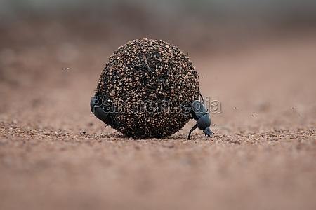 dung beetles scarabaeus zambesianus roll a