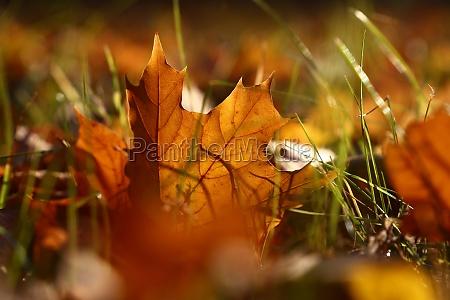 orange autumn fallen maple leaf on