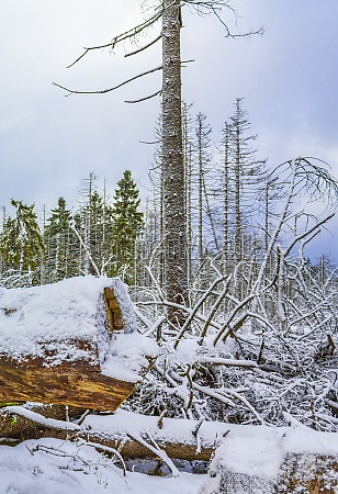 dying silver forest snowed in landscape