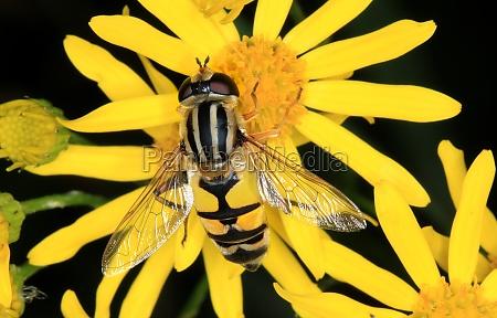 big hoverfly helophilus trivittatus sitting