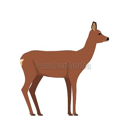 capreolus capreolus roe deer