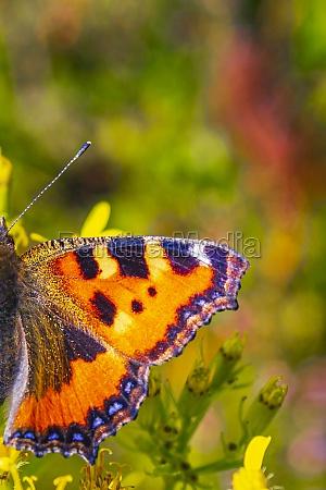 orange butterfly small fox tortoiseshell aglais