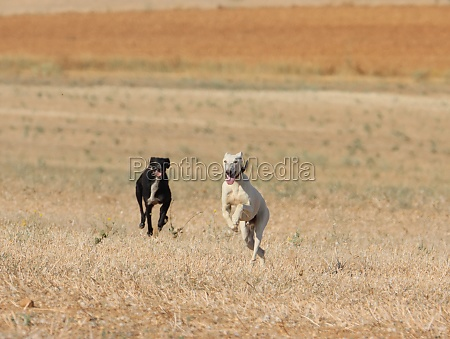 greyhound race fast dog domestic animal