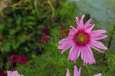 a background of a pink cosmos
