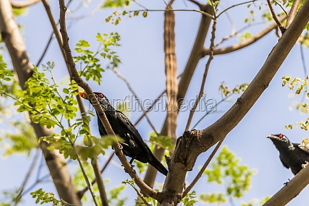 asian glossy starling birds fight for