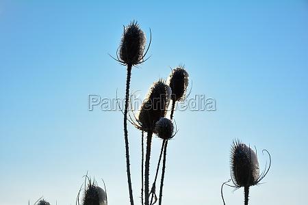 wild teasel on field in