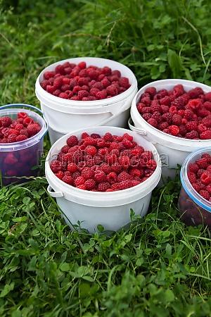 harvesting raspberries buckets of raspberries are