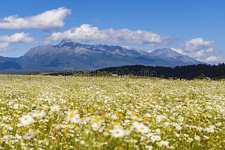 blooming meadow with high tatras slovakia