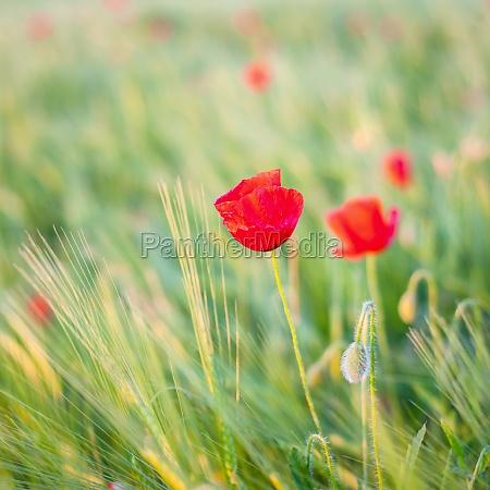 poppy flower on a meadow