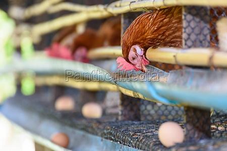 egg chicken farm in rural thailand