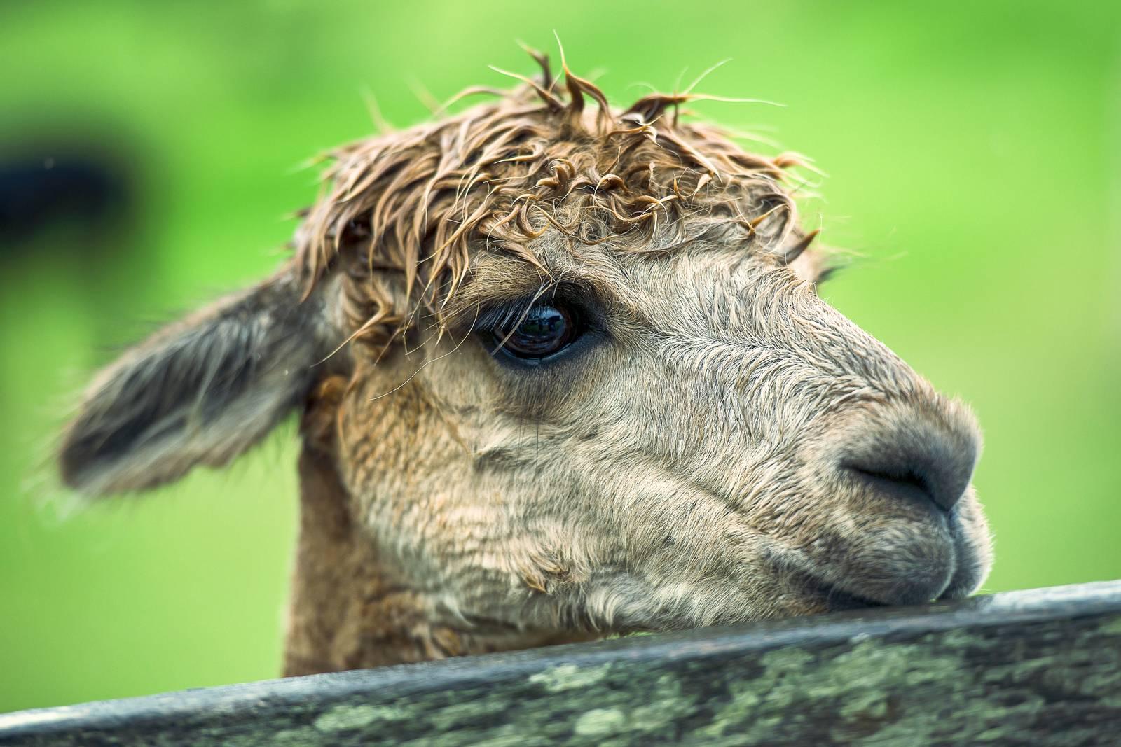 alpaca, llama, snout, pets, soft, neck - D20898254